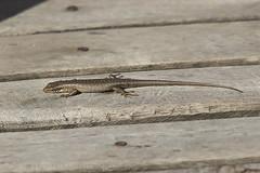 Trachylepis thomensis/maculilabris (macronyx) Tags: nature wildlife saotomé africa lizard ödla reptile reptiles reptiler reptil trachylepis trachylepismaculilabris trachylepisthomensis