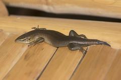 Trachylepis thomensis/maculilabris (macronyx) Tags: nature wildlife saotomé africa lizard ödla reptile reptiles reptiler reptil