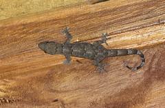 Gecko sp. (macronyx) Tags: nature wildlife saotomé africa lizard ödla reptile reptiles reptiler reptil gecko