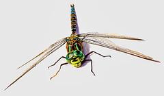 Giant dragonfly (peggyhr) Tags: peggyhr dragonfly summer turquoise green yellow brown img5832ab bluebirdestates alberta canada