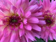 Pink dahlias (markshephard800) Tags: flores bloemen blumen fiori fleurs flowers flora pink dahlias