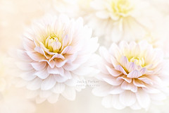 Dahlia 'Diana's Memory' (Jacky Parker Photography) Tags: dahlia dianas memory flower cream summerflowering summergarden closeup selectivefocus freshness fragility beautyinnature purity softfocus floralart flowerphotography nikond750 uk