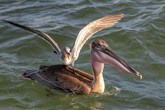 Laughing Seagull & Brown Pelican (dbadair) Tags: outdoor seaside shore sea water nature wildlife 7dm2 7d ii ef100400mm ocean canon florida bird