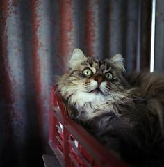 Candid Frida (Nobusuma) Tags: hasselblad hasselblad500cm zeissdistagon50mmf4fle 50mm f4 fle fujifilm fuji fujiproh160 160asa colorfilm dof depthoffield square analog mediumformat 6x6 cat frida candid home rust ハッセルブラッド アナログ 猫 カラーフィルム ボケ フィルム 中判写真