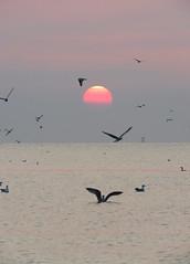 IMG_0039x (gzammarchi) Tags: italia paesaggio natura mare ravenna lidodidante alba sole animale uccello volo stormo monocrome