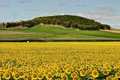 Planos y colores 🌻 (explore 280) (pascual 53) Tags: 🌻🌻🌻🌻 xabi canon 1dmarkiii 70200mm aceite girasoles campos pinos cereal navarra funes nubes