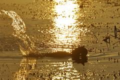 Musk Duck (blachswan) Tags: wetland wetlands mullahwallahwetlands mullahwallah winterswamp swamp ballarat victoria australia water fog muskduck splash splashing