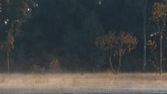 Swan and Cygnets (blachswan) Tags: wetland wetlands mullahwallahwetlands mullahwallah winterswamp swamp ballarat victoria australia water fog cygnets blackswans eucalyptussaplings saplings