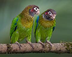 Wanna cracker? (Eric Gofreed) Tags: brownhoodedparrot costarica pyriliahaematotis