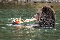 Fish-plosion (gecko47) Tags: animal mammal bear northamericanbrownbear grizzlybear female sow wading fishing feeding fish salmon sockeyesalmon britishcolumbia chilkoriver cariboochilcotincoast roe eggs