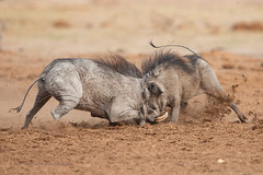 Fighting Warthogs (marco.valentini) Tags: marcovalentini botswana savuti warthog phachocoerusafricanus savannah fight dust tusk