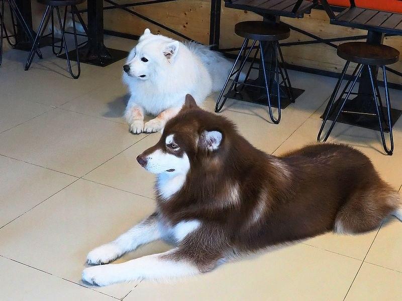 2019泰國旅遊美食-HOPs Dog Cafe : The House of Paws Dog Cafe-預備好你的尖叫聲,進入超可愛的萌寵餐廳 @民宿女王芽月-美食.旅遊.全台趴趴走