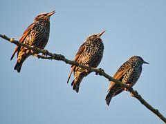 Starlings (Callan S) Tags: birds starling lumix olympus mft m43 microfourthirds 100300mm telephoto wildlife