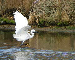 Wing Wednesday:   September 2019 (VolVal) Tags: dorset bournemouth hengistburyhead bird littleegret wings water september
