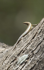 Trachylepis thomensis/maculilabris (macronyx) Tags: nature wildlife saotomé africa lizard ödla reptile reptiles reptiler reptil trachylepis trachylepisthomensis trachylepismaculilabris