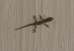 Lygodactylus thomensis thomensis (macronyx) Tags: nature wildlife saotomé africa lizard ödla reptile reptiles reptiler reptil gecko lygodactylusthomensisthomensis lygodactylusthomensis lygodactylus
