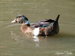 Pato doméstico. (mauricio.tibaldo) Tags: aves birds
