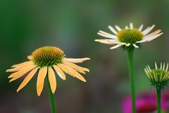 Harvest Moon (Kei Edamatsu) Tags: flower flowers nature garden echinacea yellow