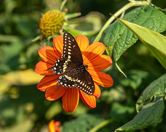 Black Swallowtail Butterfly on Mexican Sunflower (Beth Rizzo) Tags: nature naturephotography naturallightphotography naturalworld newengland naturephotos naturewalk naturesbest naturesbeauty naturesbokeh naturepic naturallightphoto naturesbrilliance naturerules naturesmajesty wild wildlife wildlifephotography wildanimals wildlifephotos wildanimalphotography wildanimal wildanimalpic wings winged animals animalphotography animalphoto animalworld animalsofflickr bird birds birding birdwatching birdsofflickr birdphotography birdsong birdsofmassachusetts birdsofnewengland bir