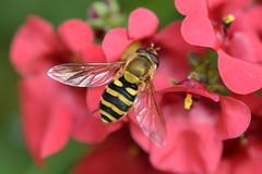 Syrphus Ribesii on Diascia (suekelly52) Tags: flowers hoverfly syrphusribesii insect diptera macro wings wingwednesday diascia