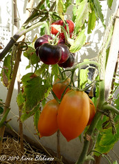 September 9th, 2019 Tomatoes - Indigo Beauty and Orange Banana (karenblakeman) Tags: cavershamgarden caversham uk tomatoes food indigobeauty orangebanana reading berkshire