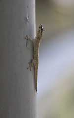 Lygodactylus thomensis delicatus (macronyx) Tags: nature wildlife saotomé africa lizard ödla reptile reptiles reptiler reptil principe gecko lygodactylusthomensisdelicatus lygodactylusthomensis lygodactylus