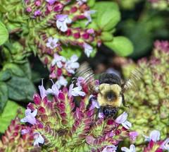 Bee-ting Wings (☼☼ Jo Zimny Photos☼☼) Tags: theflickrlounge animalvegetableormineral bee intheoreganopatch foraging flying insect animal entomology inmyherbgarden inthefrontyard