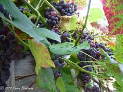 September 11th, 2019 Grapes Galore (karenblakeman) Tags: cavershamgarden caversham uk grapes fruit food 2019 2019pad september reading berkshire