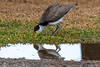 Juvenile Masked Lapwing and reflection in water puddle