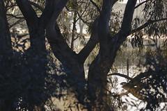 Eucalypts (blachswan) Tags: wetland wetlands mullahwallahwetlands mullahwallah winterswamp swamp ballarat victoria australia water fog