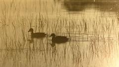 Grey Teal (blachswan) Tags: wetland wetlands mullahwallahwetlands mullahwallah winterswamp swamp ballarat victoria australia water fog greyteal