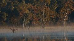 Eucalyptus Saplings (blachswan) Tags: wetland wetlands mullahwallahwetlands mullahwallah winterswamp swamp ballarat victoria australia water fog eucalyptussaplings saplings