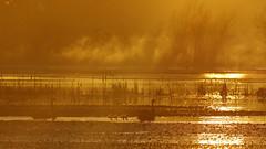 Swans and Cygnets (blachswan) Tags: wetland wetlands mullahwallahwetlands mullahwallah winterswamp swamp ballarat victoria australia water fog cygnets blackswans