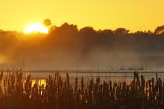 Cumbungi (blachswan) Tags: wetland wetlands mullahwallahwetlands mullahwallah winterswamp swamp ballarat victoria australia water fog watertower cumbungi