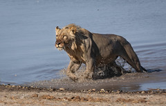 Namibia Buffalo Park (FrancescaBullet) Tags: africa park wild nature water colors look animal animals lights drops action wildlife leoni lion natura safari national lions acqua namibia animali