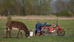 Charade (lucas.metreau) Tags: piaggio ciao tomos peugeot103 eastern serbia yougoslavia donkey