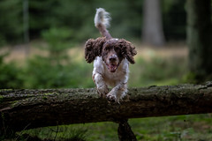 Flying (The Papa'razzi of dogs) Tags: animal cocker outdoor spaniel zigzag dog hund nature outside pet