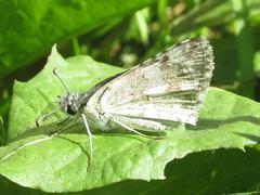 Common checkered skipper (Pyrgus communis) (tigerbeatlefreak) Tags: common checkered skipper pyrgus communis insect butterfly lepidoptera hesperiidae nebraska