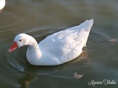Ganso. (mauricio.tibaldo) Tags: aves birds