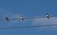 Swallows preparing to migrate (wryneck94) Tags: birdwatching somerset somersetlevels