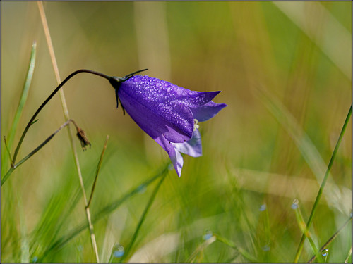 Harebell in the morning