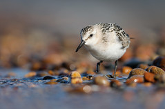 Sanderling Chippewa County MI September 2019_89A7734 (www.sabrewingtours.com) Tags: sanderling shorebird beach fall brian zwiebel bz sabrewing nature tours snt photo canon up mi michigan upper peninsula