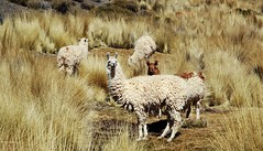 Argentina (paolomilanese) Tags: desert vicuna animals animali lama jujuy salta noa argentina