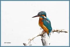 Martin-Pêcheur 190918-02-P (paul.vetter) Tags: oiseau ornithologie ornithology faune animal bird martinpêcheur alcedoatthis eisvogel kingfisher