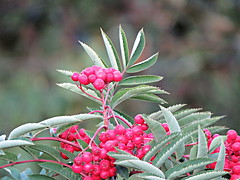 Mountain Ash tree (clickclique) Tags: tree berries red green leaves mountainash fall food nature depthoffield inexplore 6000viewsunlimited
