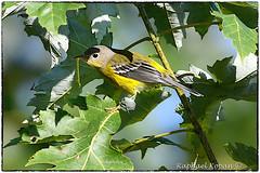 Magnolia Warbler (RKop) Tags: warbler fallmigration armlederpark cincinnati ohio raphaelkopanphotography d500 600mmf4evr nikon wildlife