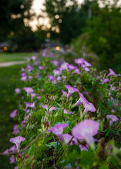 On the Fence (Revisited) (daveanderson14) Tags: nature plants flowers morninglight bokeh
