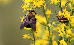 Carpenter bee and leatherwings (Kerry Wixted) Tags: glendening nature preserve september 2019 master naturalist aa county anne arundel invertebrate fall carpenter bee goldenrod