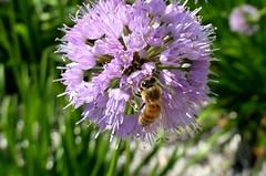 Honey Bee (shelly.morgan50) Tags: shellymorgan50 panasoniclumixdczs200 honeybee nature allium bokeh macro closeup garden sunshine sunny purple details wingwednesday hww wings bee pollinator flower flowers flowerphotography bokehwednesday hbw coth coth5 alittlebeauty