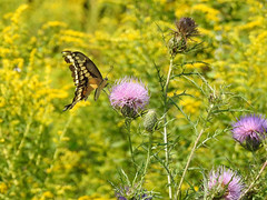 A Few Thistles (annette.allor) Tags: giantswallowtail butterfly goldenrod thistle papiliocresphontes
